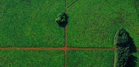 Una plantación de té correntina, como una huelladigital