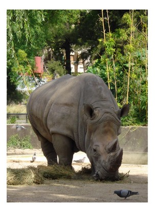 Zoológico de Bs. As. El rinoceronte, a punto de embestir a la paloma.